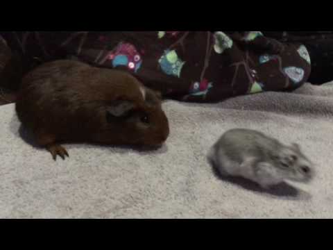 Guinea Pig Meets Hamster for The First Time