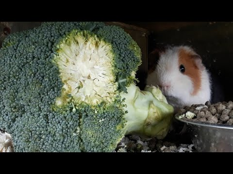 Is broccoli good for guinea pigs?