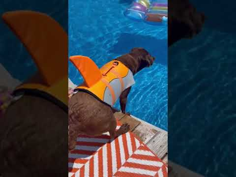 Labrador Retriever is excited to go swimming, but a raft is in his way...