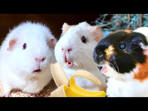 Guinea Pigs Try Banana for First Time