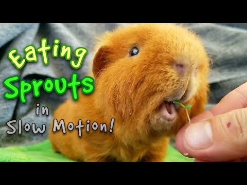 Guinea Pigs Eating Homegrown Sprouts in Slow Motion!