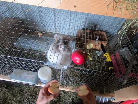 Save $$ on rabbit feed by feeding rabbits apples