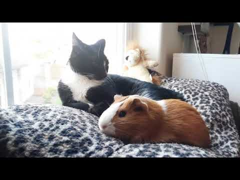 Cats and Guinea Pigs Chilling in the Sun