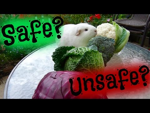 Cabbage Safe For Pigs & Buns?!