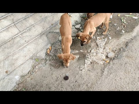 Cute Street Puppies and Dogs Eating Oreo Biscuits - v.a.k