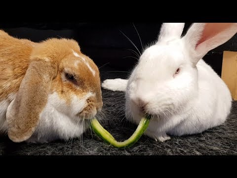 Cute bunnies eating cucumber together (Lady and the Tramp style)