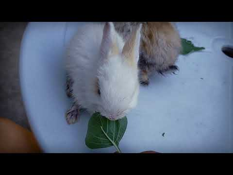 Baby bunnies eat spinach