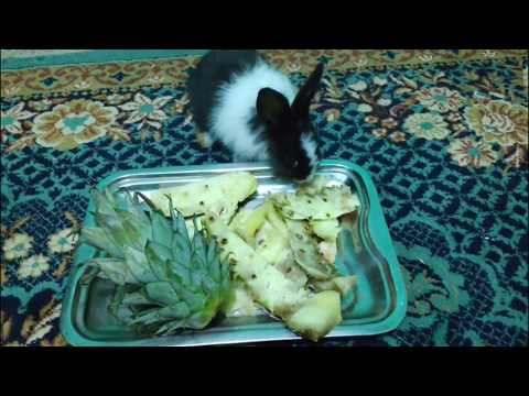 rabbit eating Pineapple and play 😋