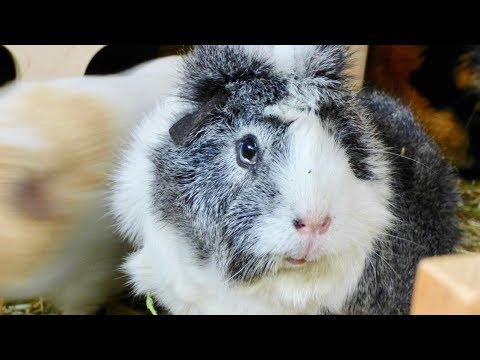 How to Stop Your Guinea Pig from Biting
