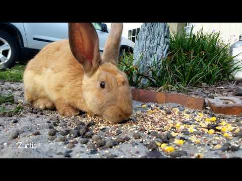 Rabbits in the yard eating bird seeds and relaxing in the sand