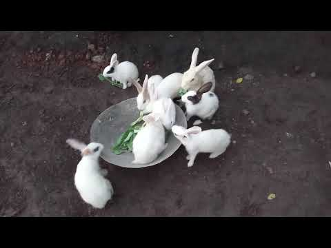 Rabbits eating cabbage leaves