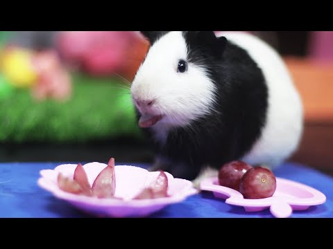 Can Guinea Pigs Eat Grapes - Cute and Funny Guinea Pig Food