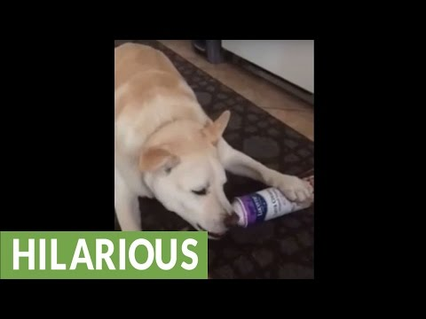 Dog eats whipped cream straight from the canister