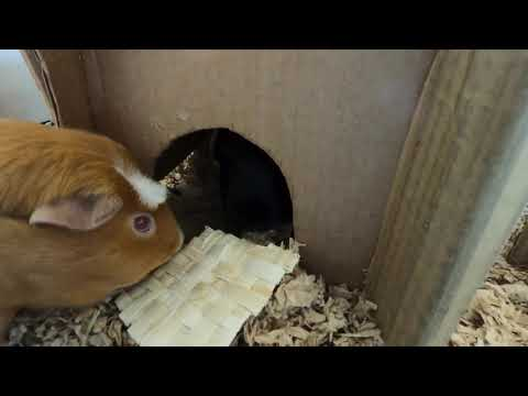 """""""Crackers"""" for guinea pigs"""
