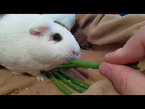 Guinea Pigs Try Green Beans For The First Time