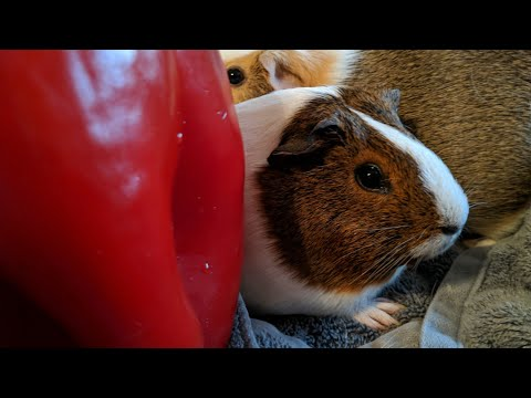 Guinea Pigs Eat A Giant Red Pepper!