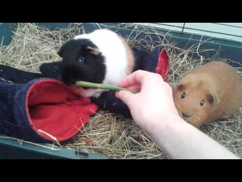 Guinea Pigs Confused By Asparagus