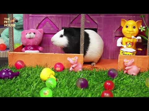 Can Guinea Pigs Eat Cucumber   Cute and Funny Guinea Pig Food