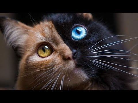 Cats With Multi-Colored Eyes Are Stunning…But What Causes It?