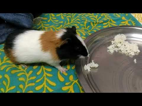 Guinea Pig Eating Rice