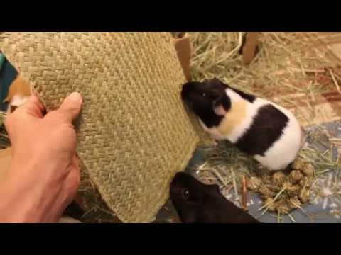 Will guinea pigs eat a giant cracker?