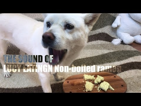 Dog Eating Ramen Noodles That Were Not Boiled [Sound Dogs Love] [강아지가 좋아하는 소리]